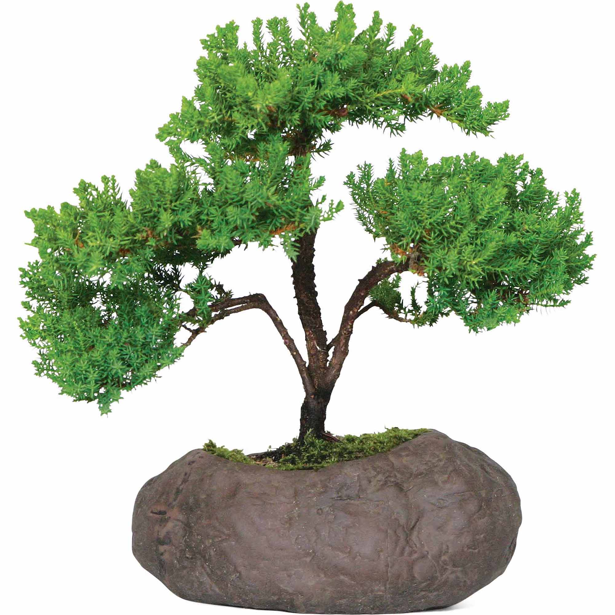 Brussel's Green Mound Juniper Over Rock Bonsai X Large (Outdoor) by Brussel's Bonsai