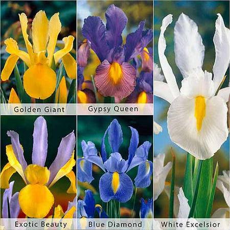 Bloomsz Care Free and Rewarding Dutch Iris Flower Bulb Collection, 50pk