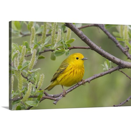 Great BIG Canvas Milo Burcham Premium Thick-Wrap Canvas entitled A male Yellow Warbler perched in a willow, Copper River Delta, - 5 Rivers Delta Halloween