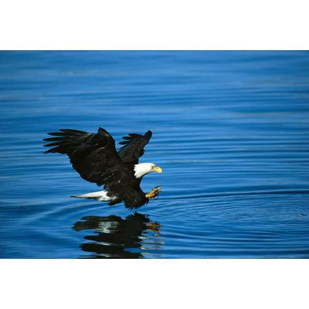 Bald Eagle striking at fish Kenai Peninsula Alaska Poster Print by Tom Vezo (Alaska Fish)