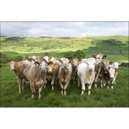 Dairy Cattle Derbyshire England Canvas Art - Chris Upton Design Pics (34 x 22)