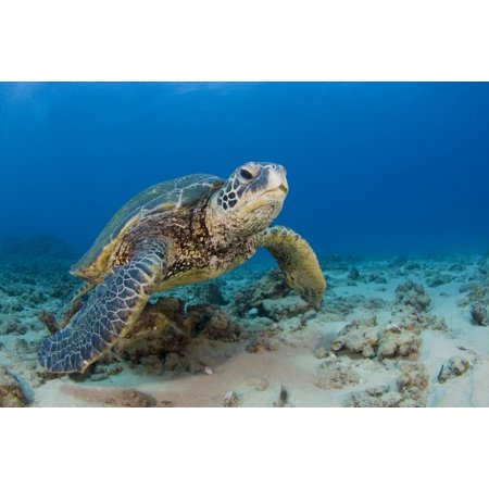 An endangered green sea turtle in the blue waters of Hawaii Poster Print by VWPicsStocktrek Images ()