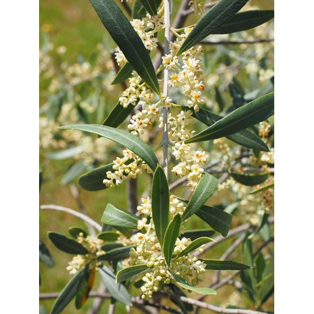Oolong Orange Blossom (Canvas Print White Flowers Oblong Olive Tree Olive Blossoms Stretched Canvas 10 x 14)