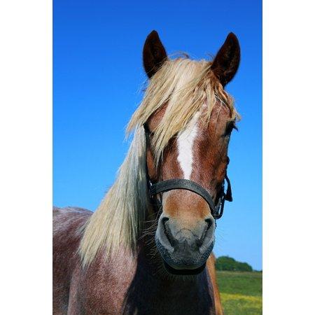 Horse Portrait (LAMINATED POSTER Horse Portrait Horse Head Animal Head Poster Print 24 x)
