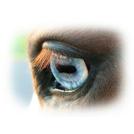 Canvas Print Equestrian Equine Eye Blue Animal Horse Nature Stretched Canvas 10 x 14