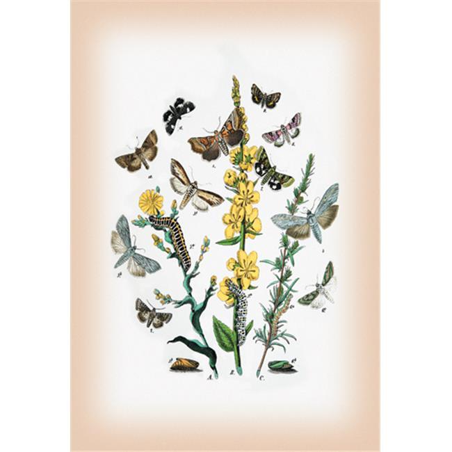 Buy Enlarge 0-587-12576-4P20x30 Moths- Heliaca Tenebrata  Cucullia Lactucae  et al. - Paper Size P20x30