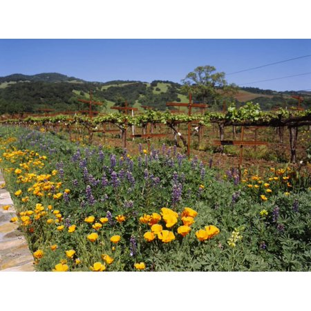 Wild Poppies and Lupine Flowers in a Vineyard, Kenwood Vineyards, Kenwood, Sonoma County Print Wall Art By Green Light