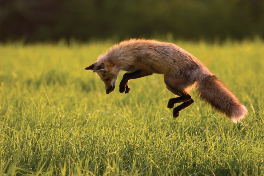Red Fox Hunting Prince Edward Island Canvas Art John Sylvester Design Pics 34 X