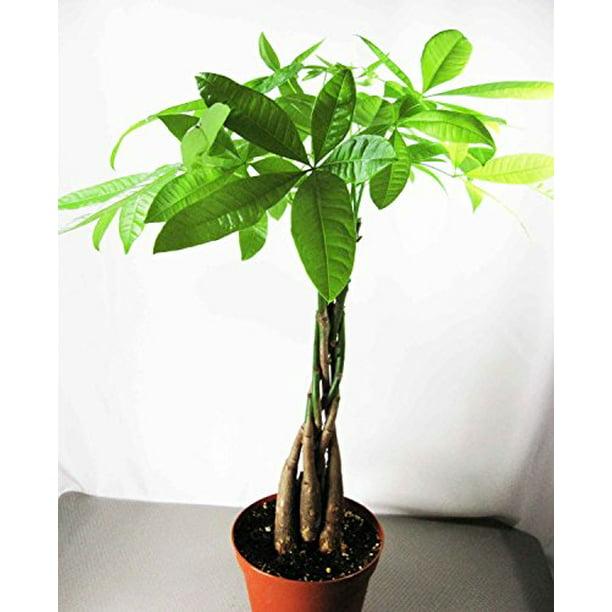 9greenbox Rare Mini Pachira Five Braided Tree Bring Luck Pachira Houseplant Bonsai Walmart Com Walmart Com