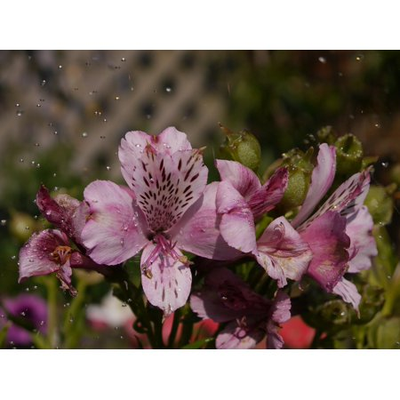 Delicate Blooms - LAMINATED POSTER Delicate Pink Blooming Water Nature Alstromeria Poster Print 24 x 36