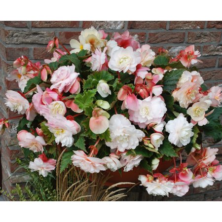 Van Zyverden Hanging Basket Begonias, Odorata Red and White, Set of 5 Bulbs
