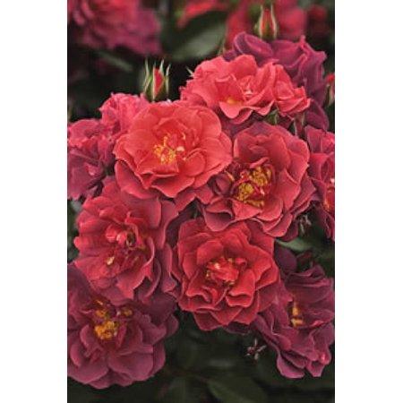 De Rosine Rose (Cinco de Mayo Rose - Mysterious Color Blending - 4