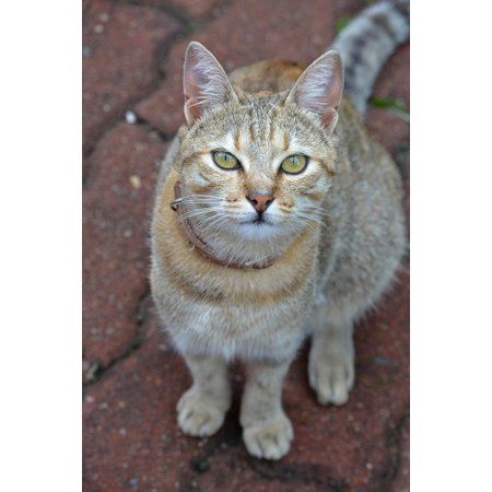 LAMINATED POSTER Feline Kitty Cute Domestic Pet Cat Mammal Animal Poster Print 24 x 36