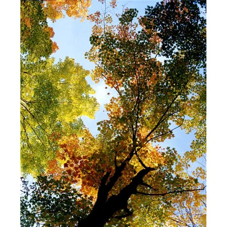 Posterazzi DPI1802788LARGE Autumn Trees Low-Angle Poster Print by David Chapman, 26 x 32 - Large - image 1 of 1