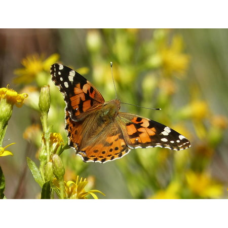 Peel-n-Stick Poster of Beauty Orange Butterfly Flower Poster 24x16 Adhesive Sticker Poster Print