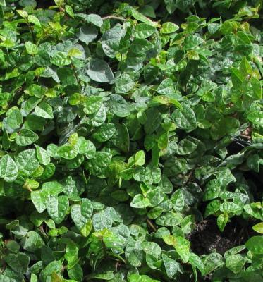 Ficus pumila (Creeping Fig, F. repens, Fig Vine, Fig Ivy,...