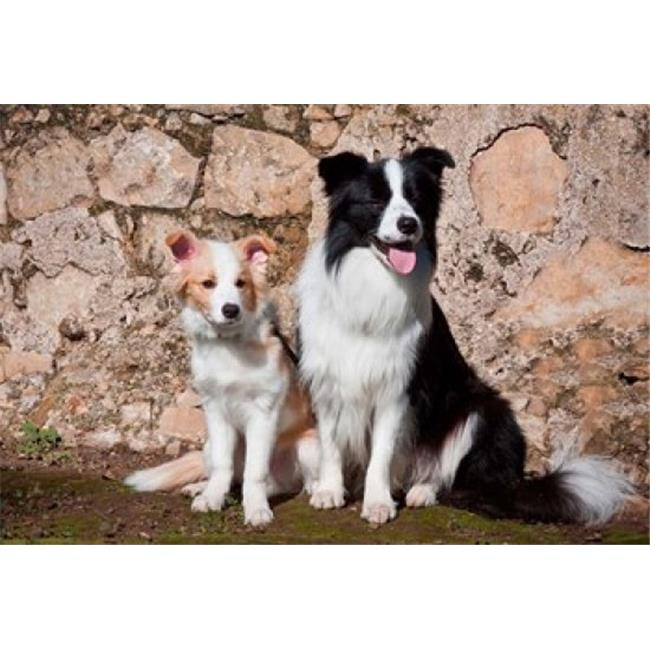 Posterazzi PDDUS05ZMU0099 An Adult Border Collie Dog with Puppy Poster Print by Zandria Muench Beraldo - 24 x 16 in. - image 1 de 1