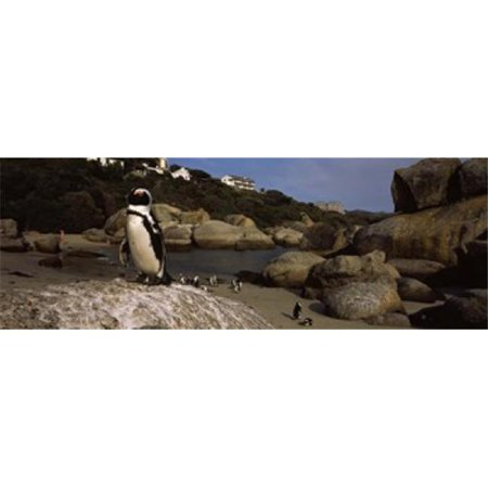 Panoramic Images PPI113188L Colony of Jackass penguins on the beach Boulder  Beach Cape Town Western Cape Province Republic of South Africa Poster