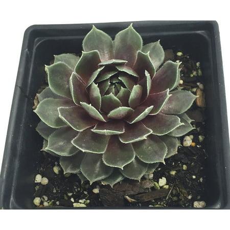 Commander Hay Hens & Chicks - Sempervivum - Very Hardy - Live Plant - Quart Pot ()