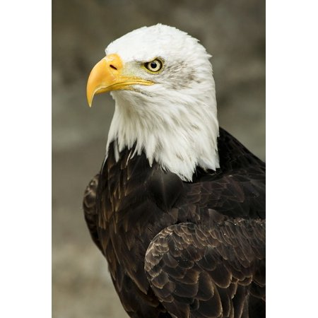 LAMINATED POSTER Bald Eagle Feathered Animal Bird Predator Poster Print 24 x 36