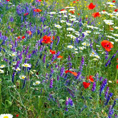 Partial Shade Wild Flower Garden Mix - 4 Oz - Mixture of Wildflower Seeds: Purple Coneflower, Baby's Breath, Columbines, Daisys, (Wedding Favors Wildflower Seeds)