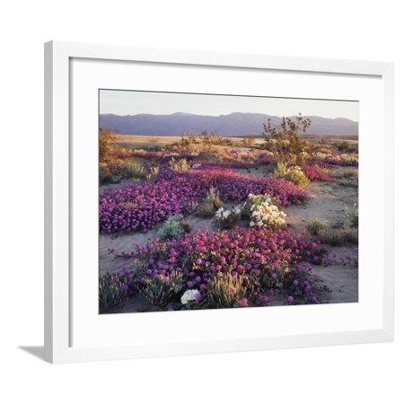 California, Anza Borrego Desert State Park, Desert Wildflowers Framed Print Wall Art By Christopher Talbot (Anza Borrego Wildflowers Best Time)
