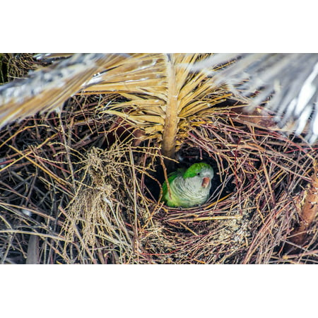 Parrot Palm Tree - Canvas Print Tree Monk Parakeet Bird Nest Green Parrot Palm Stretched Canvas 10 x 14