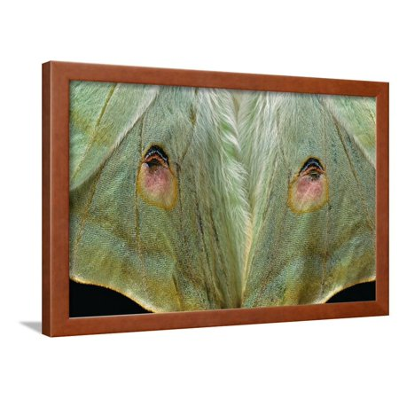 EAN 4699256631838 product image for Actias Selene (Indian Moon Moth, Indian Luna Moth) - Wings Detail Framed Print W | upcitemdb.com