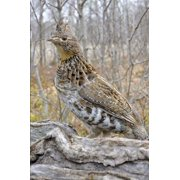 Pennsylvania State Bird - Ruffed Grouse Journal: 150 Page Lined Notebook/Diary (Paperback)