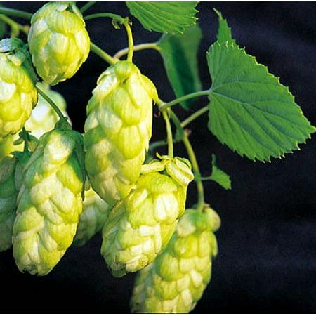 Brewer's Gold Beer Hops Vine - Humulus - Grow your own Beer! - 4