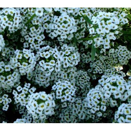 The Dirty Gardener Lobularia Maritima Sweet Alyssum Wildflower Seeds - 1 Ounce ()