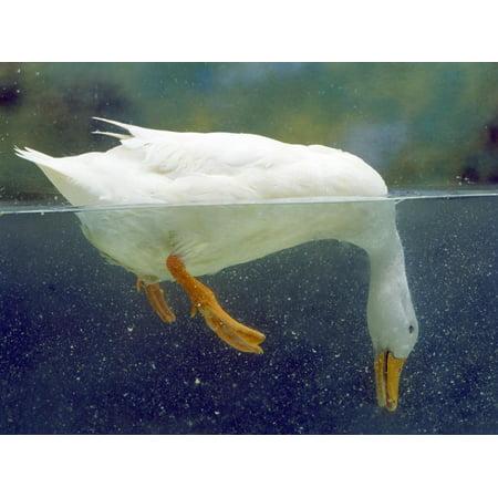 Aylesbury Ducks - Aylesbury Duck Domestic, Above and Below Water Print Wall Art