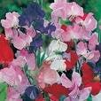 The Dirty Gardener Sweet Pea Early Multiflora Flower Seeds - .25 (Sweet Pea Hydrangea)