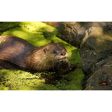 LAMINATED POSTER Fish Eat Animal Pond Water Otter Poster Print 24 x 36