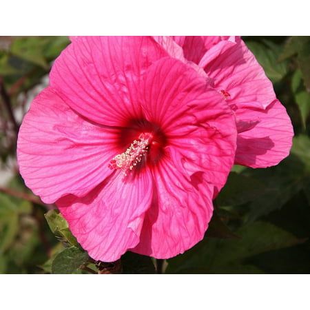 Giant Rose - Brandy Punch Giant Hibiscus Rose Mallow Perennial - Live Plant - Gallon Pot