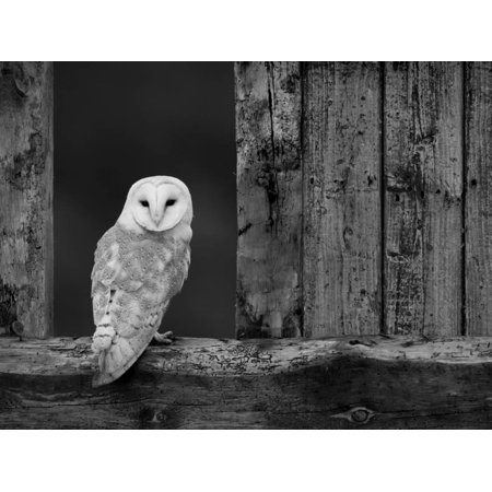 Barn Owl, in Old Farm Building Window, Scotland, UK Cairngorms National Park Print Wall Art By Pete Cairns](Halloween Theme Park Uk)