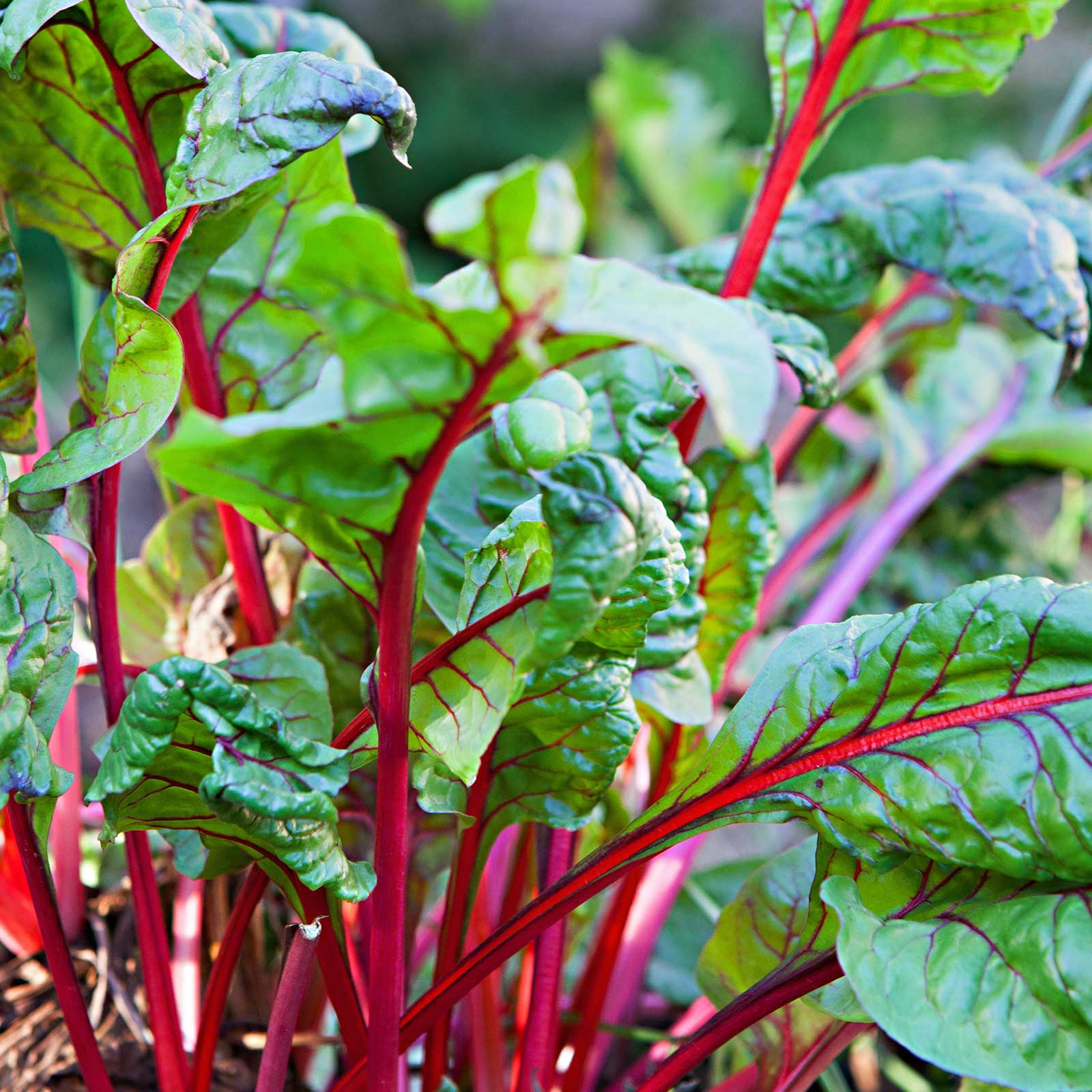 Rhubarb Swiss Chard Garden Seeds - Rhubarb - 5 Lbs Bulk - Non-GMO, Heirloom Vegetable Gardening Seeds