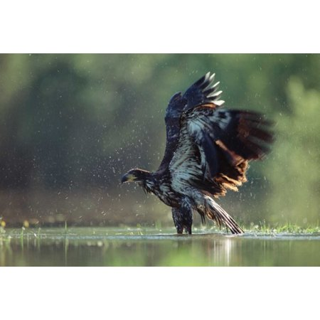 Juvenile American Bald Eagle (Bald Eagle juvenile bathing in a river North America Poster Print by Tim)