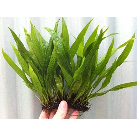 Tropical Fish Inflate (Java Fern on 5 x 3 Mat | Microsorum Pteropus - Easy Tropical Live Aquarium Plant )