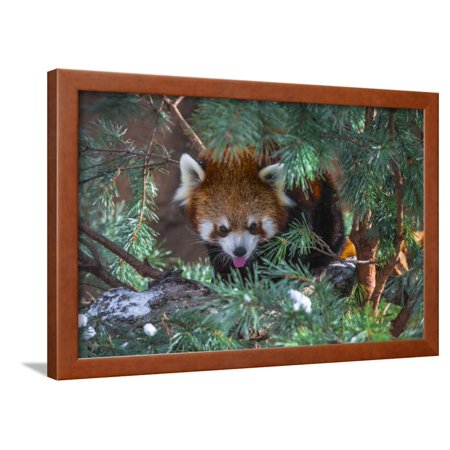 Red Panda in the Pine Trees Framed Print Wall Art By Kris -