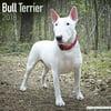Bull Terrier Calendar 2018 - Dog Breed Calendar - Wall Calendar 2017-2018