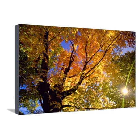 - Sunlight Shining through Sugar Maple Leaf Canopy Stretched Canvas Print Wall Art By Momatiuk - Eastcott