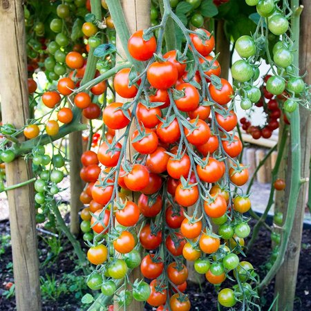 Tomato Garden Seeds - Supersweet 100 Hybrid - 100 Seeds - Non-GMO, Vegetable Gardening Seed - Super Sweet, Tomato Seeds - Supersweet 100 Hybrid -.., By Mountain Valley Seed Company - Sweet Olive Grape Tomato