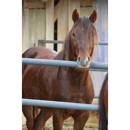 Canvas Print Stallion Brown Horse Stall Deckhengst Stretched Canvas 10 x 14 ()