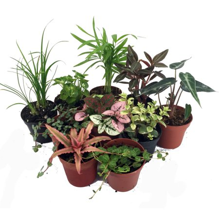 Terrarium & Fairy Garden Plants - 8 Plants in 2