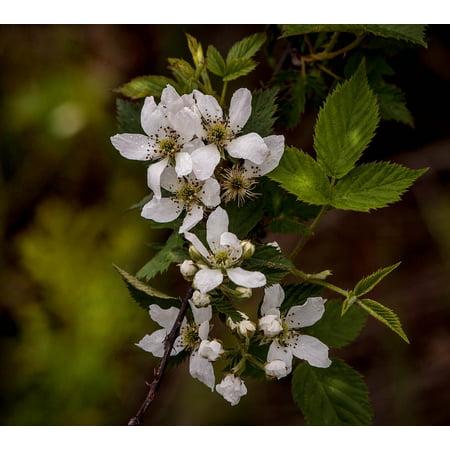 LAMINATED POSTER Blackberry Flowers Fruit Blossoms Blackberry Blossoms Poster Print 24 x 36 (Blackberry Blossom)