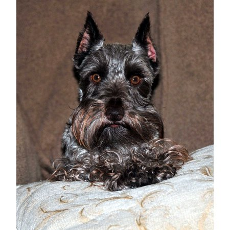 Canvas Print Miniature Male Best Posing Schnauzer Liver Color Stretched Canvas 32 x