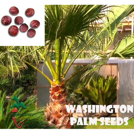 10  Washington palm seeds, ( WASHINGTONIA FILIBUSTA ) from Hand Picked Nursery