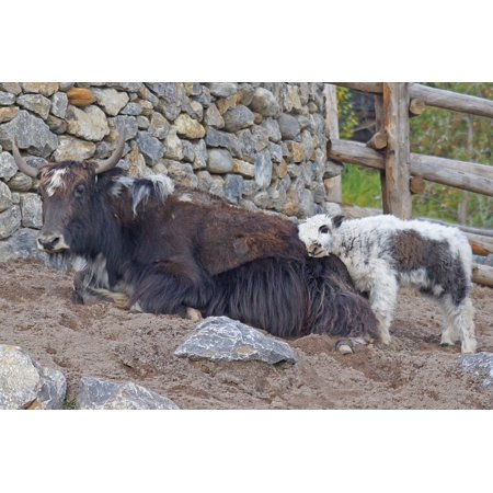 Canvas Print Mongolia Beef Himalayas Yak Young Animal Stretched Canvas 10 x 14