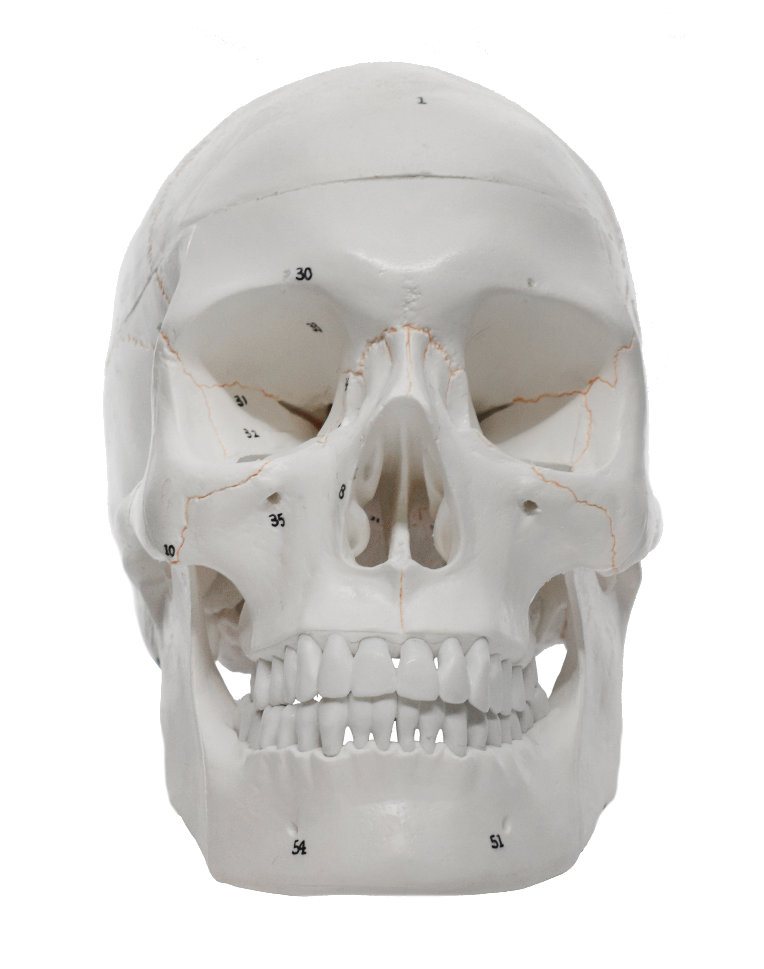 Star Spark Medical Anatomical Numbered Human Skull Model Life Size Includes Full Set of Teeth